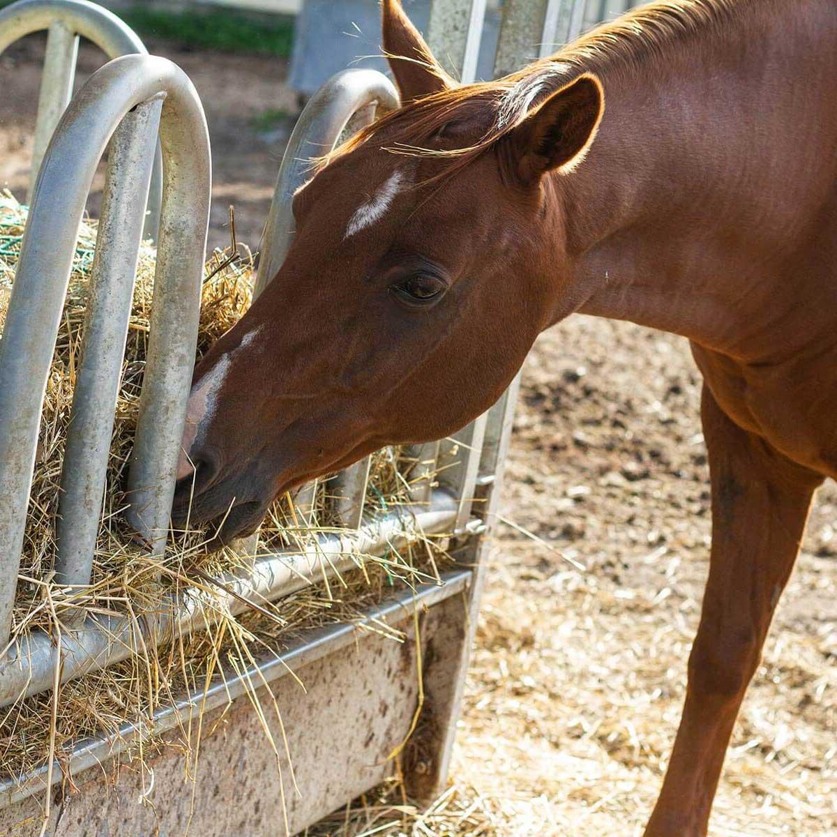 Pferd, das das frische Futter am Kirschleitenhof genießt